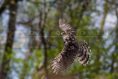20090502-148 Cooper's Hawk release