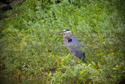 20100628-059 Great Blue Heron
