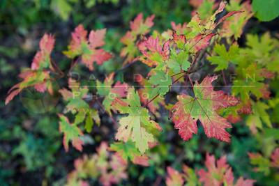 200901009-018 Maple color