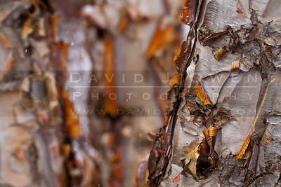 20110420-240 Birches in snow