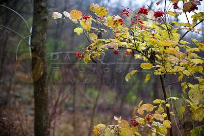 20081106-023 Highbush cranberry