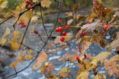 20081106-012 Highbush cranberry