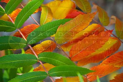 20090926-014 Sumac colors