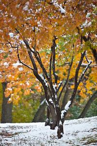 20091012-102 Amur maple in snow