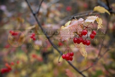 20081106-016 Highbush cranberry
