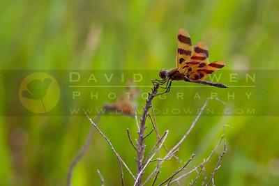 20100710-058-2 Dragonflies