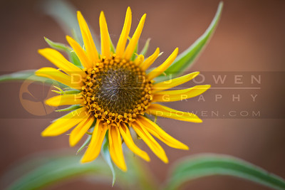 20111001-053 Sunflower