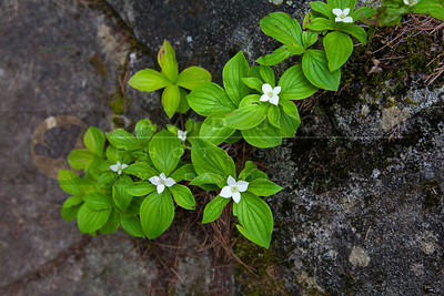 20120605-233 Bunchberry