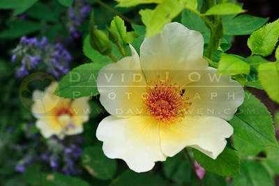 20090619-025 Rose