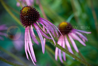 20100702-002 Coneflower on 37th