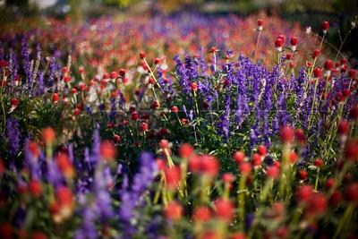 20081003-100 Gomphrena 'Strawberry Fields'