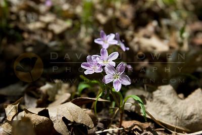 20090507-017 Spring beauty Claytonia virginica