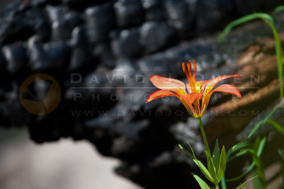 20120605-127 Wood lily