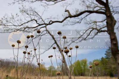 20090506-009 Prairie coneflower & oak
