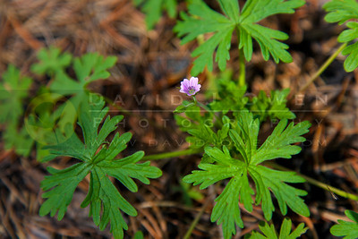 20120603-070 Bicknell's Cranesbill geranium