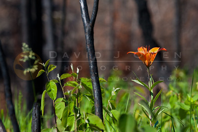 20120605-122 Wood lily