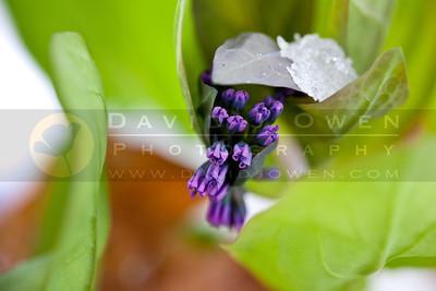 20110420-159 Virginia Bluebells
