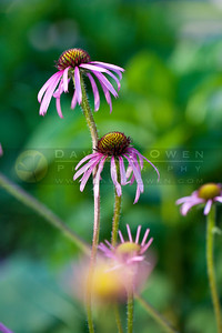 20100702-004 Coneflower on 37th