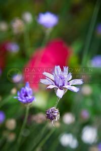20090909-015 Lavender?