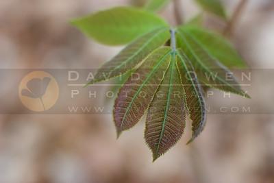 042907-025 Leaf