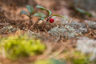 20150531-047 Wintergreen