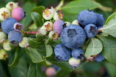 070407-008 Blueberries