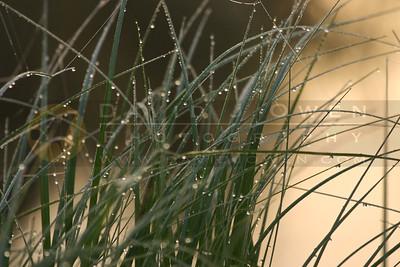 052805-07V-2 Dewy grass