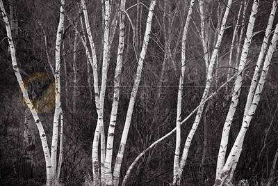 20081127-096 1 Birches