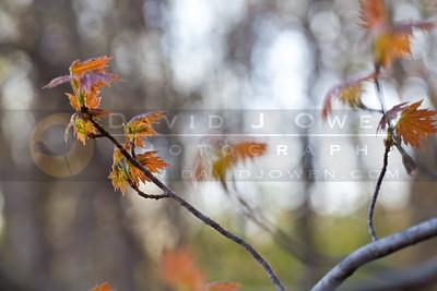 20100413-033 Maple