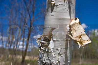20090507-020 Birch