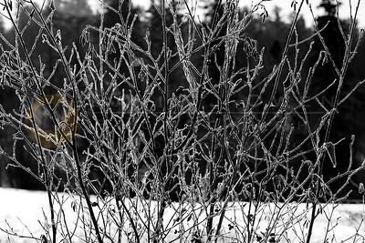 121006-077 Frosty Alder