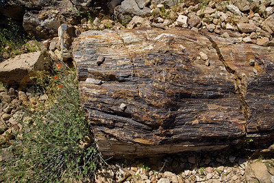 20090328-014 Petrified Aurucaria logs