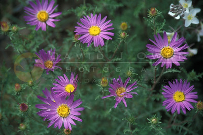 10479 Tansy Aster