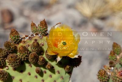 20120315-199 Blind Prickly Pear blooms