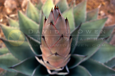 8109 Agave new stalk copy