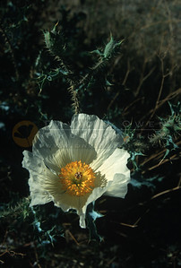 7795 Prickly Poppy
