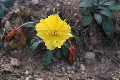 8090 Evening Primrose bloom
