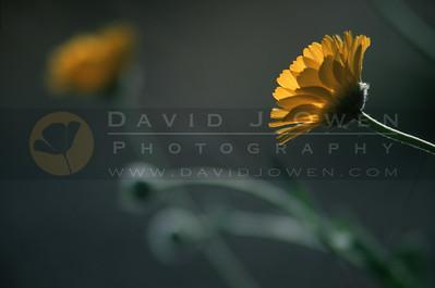 13960 Desert Marigold