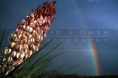 14042V Yucca bloom and rainbow