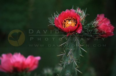 12932V Cane Cholla flower