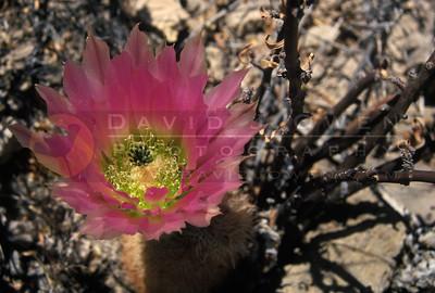 7991 Rainbow Cactus