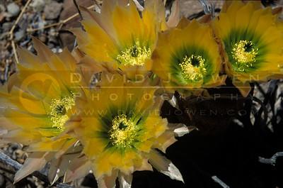 10622 Yellow rainbow cactus