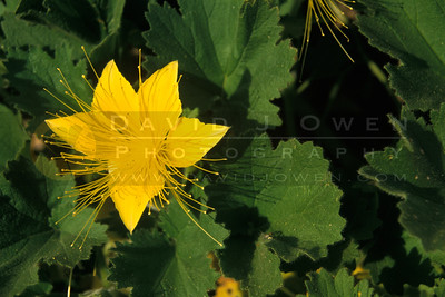 7956 Yellow rock nettle