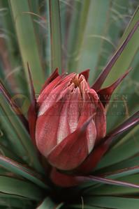 13961VAR Yucca bloom