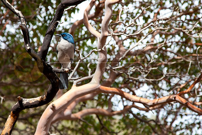 20120314-194 Mexican Jay