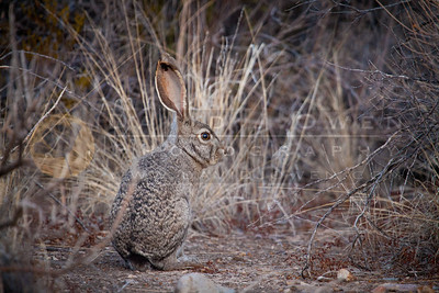20120315-017 Black tailed jackrabbit