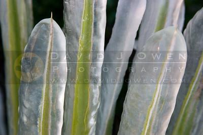 112905-28 Iced Soaptree Yucca