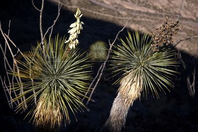 20090202-023 Yucca