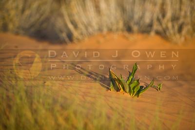 20090321-025 Canaigre (buckwheat)