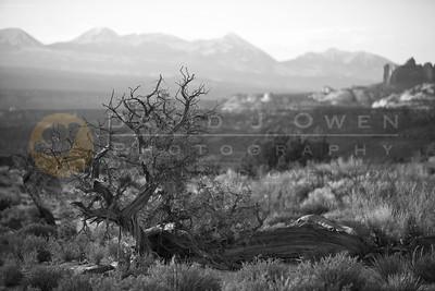 20090321-012 1 Juniper & La Sal Mtns